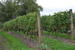 Vignes, vignoble, Essoyes