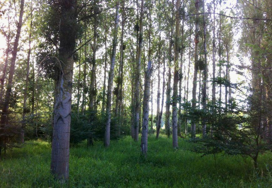 Forêts et Bois de l'Est recherche des populiculteurs