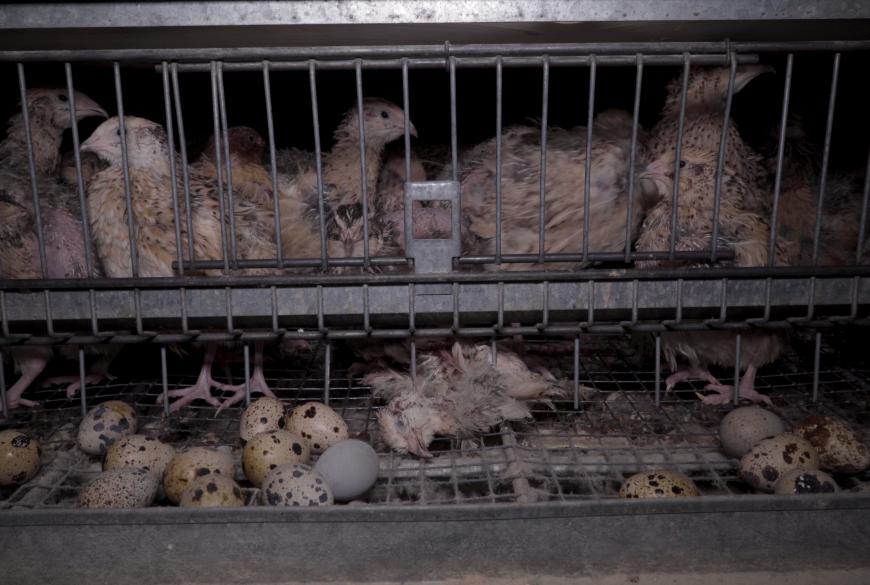 Vidéo de L214 dans la Drôme : pour la préfecture, les conditions d'élevage ne correspondent pas aux images diffusées