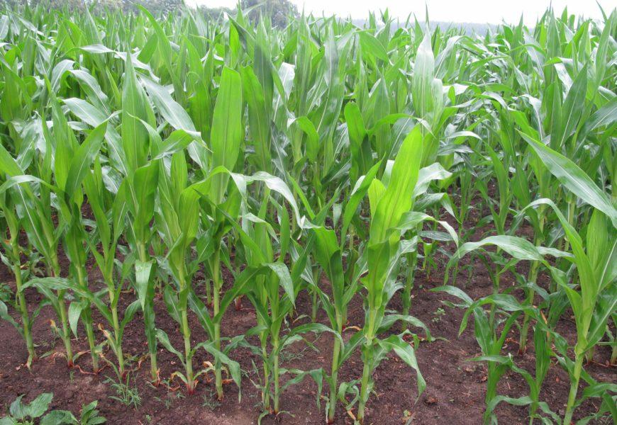 Pyrale du maïs : des vols précoces