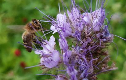 La luzerne, partenaire fabuleux pour l'apiculture