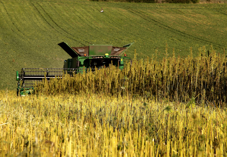 Chanvre : récolte décevante, mais marché à fort potentiel