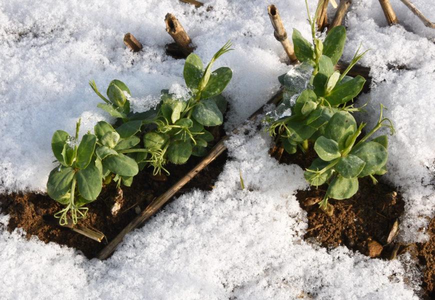 Pois d'hiver : une culture compatible avec de nombreux sols